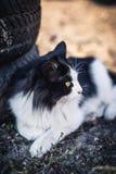 Il bello gatto in bianco e nero si trova su un'iarda rurale vicino alle vecchie gomme fotografie stock libere da diritti