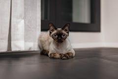 Il bello gatto Blu Point di Devon Rex scrive nell'interno domestico Fuoco selettivo, bokeh immagini stock