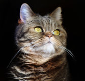 Il bello gatto britannico con giallo osserva fiero considera un fondo nero Immagine Stock