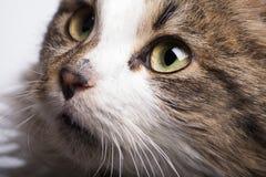 Gatto che guarda su immagine stock libera da diritti