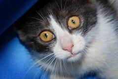 Il bello gatto con grande giallo osserva esaminando la macchina fotografica dell'interno Immagine Stock