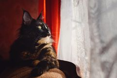 Il bello gatto Maine Coon della tartaruga si trova sullo strato e guarda fuori la finestra fotografia stock libera da diritti