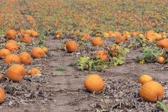 Il bello giacimento della zucca in pieno delle zucche arancio vibranti aspetta le FO Fotografie Stock