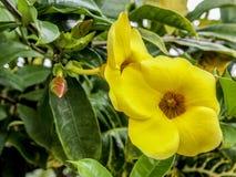 Il bello giallo fiorisce la petunia con le foglie verdi nei precedenti fotografia stock libera da diritti
