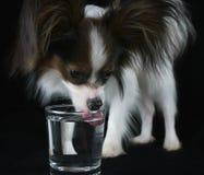 Il bello giovane cane maschio Toy Spaniel Papillon continentale beve l'acqua pulita da un vetro su fondo nero Fotografie Stock