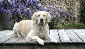 Il bello giovane golden retriever sta indicando sulla piattaforma Immagine Stock