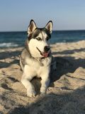 Il bello giovane Malamute del cane cresce sulla spiaggia dell'oceano fotografia stock