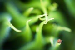 Il bello girasole verde germoglia la macro di sviluppo vicina su nel fondo vago con l'insetto Fotografie Stock Libere da Diritti