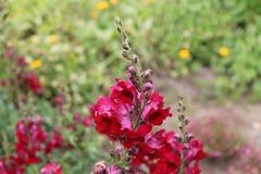 Il bello gladiolo rosso tenero canta una canzone dolce dell'estate Gladiolo rosso su un fondo isolato immagini stock libere da diritti