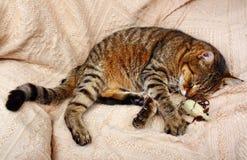 Il bello grande gatto ha dormito con un topo del giocattolo fotografia stock