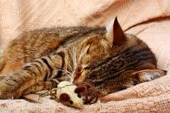 Il bello grande gatto ha dormito con un topo del giocattolo immagine stock