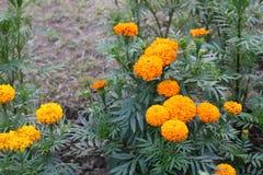 Il bello grande tagete giallo del Bangladesh fiorisce in giardino immagine stock libera da diritti
