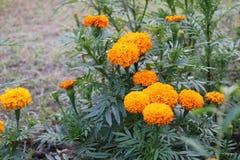 Il bello grande tagete giallo del Bangladesh fiorisce in giardino fotografie stock libere da diritti