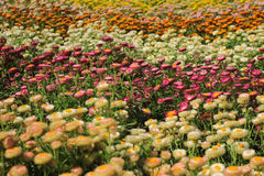 Il bello Helichrysum fiorisce Feild In The Garden fotografia stock libera da diritti
