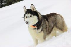 Il bello husky nella foresta di inverno Fotografie Stock