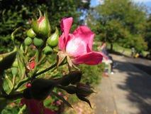 Il bello inglese Rosa fotografie stock