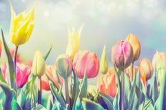 Il bello letto di fiori dei tulipani in parco o in giardino, pastello impallidisce tonificato Fotografia Stock