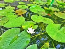 Il bello loto in natura immagini stock