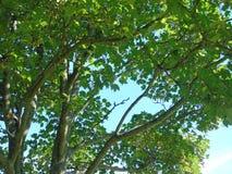 Il bello luccichio lascia l'ondeggiamento sotto il cielo blu profondo e d'ardore Immagini Stock