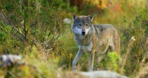 Il bello lupo grigio odora dopo alimento nell'erba video d archivio
