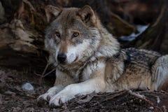 Il bello lupo si trova sul pavimento della foresta fotografie stock