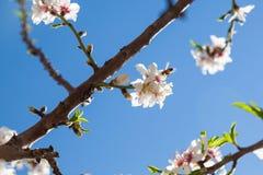 Il bello mandorlo fiorisce in primavera fotografia stock libera da diritti