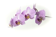 Il bello mazzo dell'orchidea rosa e bianca fiorisce su un fondo bianco Fotografia Stock
