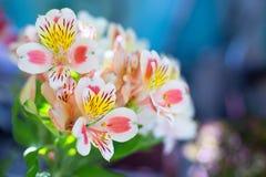 Il bello mazzo di alstroemeria variopinto fiorisce all'aperto nella luce del giorno su fondo blu vago Fotografie Stock