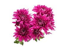 Il bello mazzo di rosso fiorisce il crisantemo Immagine Stock Libera da Diritti