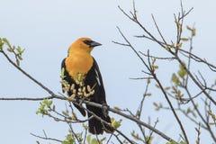 Il bello merlo intestato giallo si è appollaiato in un albero Fotografie Stock Libere da Diritti
