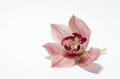 Il bello orchidea con fondo Fotografia Stock Libera da Diritti
