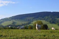 Il bello paesaggio con il pascolo partorisce nelle montagne di estate La repubblica Ceca - i Carpathians - l'Europa bianchi Fotografia Stock Libera da Diritti