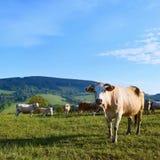 Il bello paesaggio con il pascolo partorisce nelle montagne di estate La repubblica Ceca - i Carpathians - l'Europa bianchi Immagine Stock