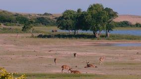 Il bello paesaggio della fauna selvatica, parecchi gruppi animali di antilopas ed i tori camminano libero alla savanna del parco  video d archivio