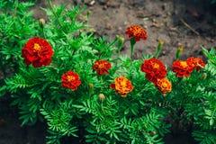 Il bello patula arancio luminoso di tagetes o il tagete francese fiorisce immagini stock libere da diritti
