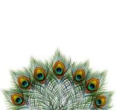 Il bello pavone di vettore mette le piume a su retro fondo con spazio per testo ENV 10 Fotografia Stock