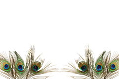 Il bello pavone mette le piume a su fondo bianco con lo spazio della copia Immagine Stock Libera da Diritti