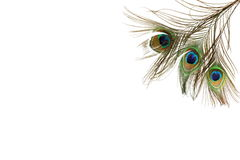 Il bello pavone mette le piume a su fondo bianco con lo spazio della copia Immagini Stock
