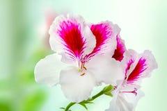 Il bello pelargonium della pianta da appartamento è sbocciato fiori bianco-porpora Fotografia Stock