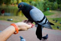 Il bello piccione è si siede tranquillamente sulla mano dell'uomo Immagine Stock