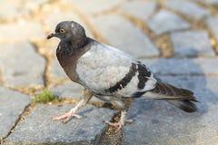 Il bello piccione bianco, grigio e marrone che cammina sul vecchio asfalto grigio sporco incrinato con erba verde che cresce in c fotografie stock