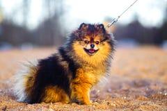 Il bello piccolo cucciolo dello Spitz si siede su un fondo della sabbia e della spiaggia cane sorridente divertente con una bocca fotografia stock libera da diritti