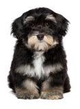 Il bello piccolo cucciolo havanese sveglio sta sedendosi il frontale fotografia stock libera da diritti