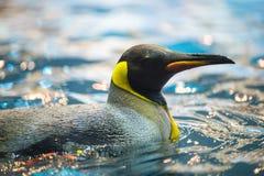 Il bello pinguino di imperatore galleggia nello zoo in Tenerife, Spagna Fotografie Stock Libere da Diritti
