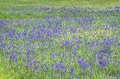 Il bello prato di camas blu fiorisce in erba verde Immagine Stock