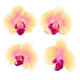 Il bello primo piano del fiore di phalaenopsis gialla dell'orchidea ha messo l'illustrazione editabile di primo vettore d'annata Fotografia Stock Libera da Diritti