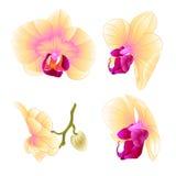 Il bello primo piano del fiore di phalaenopsis gialla dell'orchidea ha messo l'illustrazione editabile di secondo vettore d'annat Fotografia Stock