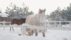 Il bello purosangue bianco adorabile che sta dietro recinta la neve ad un ranch suburbano Concetto dell'allevamento di cavallo stock footage