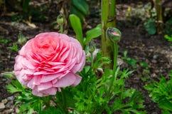 Il bello ranunculus o ranuncolo rosa adorabile fiorisce al parco centennale, Sydney, Australia immagini stock libere da diritti