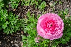 Il bello ranunculus o ranuncolo rosa adorabile fiorisce al parco centennale, Sydney, Australia fotografie stock